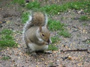 grey-squirrel 2