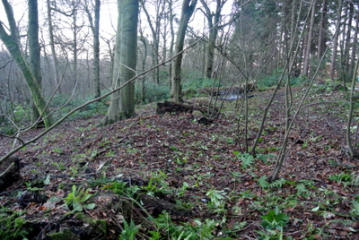 Woodland cleared of rhododendrons