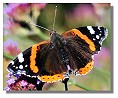butterfly red admiral
